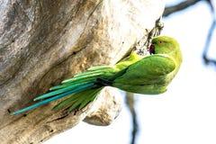 The Alexandrine Parakeet. In Bundala National Park of Sri Lanka Royalty Free Stock Photography