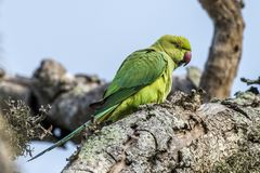 The Alexandrine Parakeet. In Bundala National Park of Sri Lanka Royalty Free Stock Images