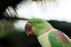 Alexandrine parakeet close up Stock Photos