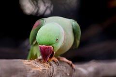 Alexandrine parakeet close up Royalty Free Stock Photo