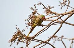 Alexandrine Parakeet (eupatria de Psittacula) Photo libre de droits