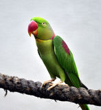 Alexandrine Parakeet Stock Photo
