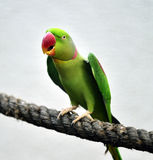 Alexandrine Parakeet Royalty Free Stock Images