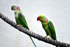 Alexandrine Parakeet Royalty Free Stock Photography
