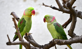 Alexandrine Parakeet Royalty Free Stock Photos