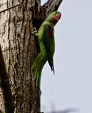 An alexandrine parakeet. Making a hole in a tree for its nest Stock Images