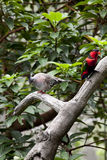 Alexandrine Parakeet and Nicobar Pigeon Royalty Free Stock Photos