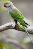 Alexandrine Parakeet (Psittacula eupatria). Found in the Hong Kong Aviary Stock Photo