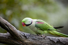 Alexandrine Parakeet (Psittacula eupatria). Perched on a tree branch in the Hong Kong Aviary Stock Photo