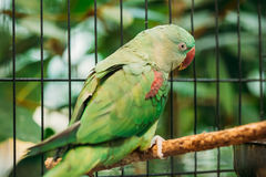 Alexandrine Parakeet Psittacula Eupatria. Green Bird Parrot. Alexandrine Parakeet Or Alexandrian Parrot Or Psittacula Eupatria Is A Member Of The Psittaciformes Royalty Free Stock Photography