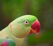 Alexandrine parakeet Royalty Free Stock Image