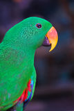 Alexandrine parakeet Royalty Free Stock Photography