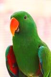 Alexandrine parakeet Stock Photos