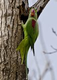 An alexandrine parakeet. Sitting on a tree branch Stock Images