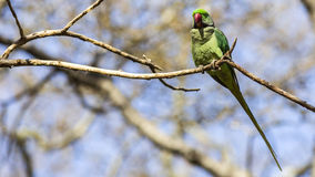 Alexandrine Parakeet on Tree Branch Stock Image