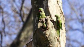 Alexandrine Parakeets on Tree. Family of Alexandrine Parakeets (Psittacula eupatria) on tree are on tree trunk Stock Photography