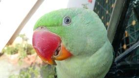 Alexandrine Parrot Royalty-vrije Stock Fotografie