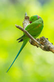 Alexandrine parrot Royalty Free Stock Photos