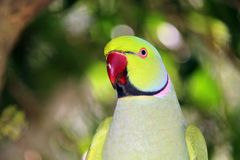 Alexandrine Parrot. An Alexandrine parrot, native to India and SE Asia Royalty Free Stock Images