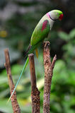 Alexandrine Parrot. (Psittacula eupatria) native to India and South East Asia Royalty Free Stock Image