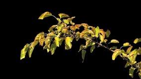 Alfa foglie dell'albero stock footage