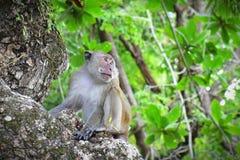 Alfa samiec dzika małpa Obraz Royalty Free