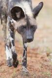 Alfa samiec dziki pies na polowaniu zdjęcia stock