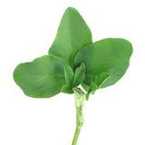 Alfaalfa herb on white. Alfaalfa herb isolated on white background Stock Photo