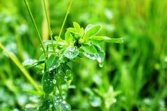 Alfaalfa nach dem Regen lizenzfreies stockfoto