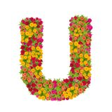 Alfabeto de la letra U hecho de la flor del zinnia Fotos de archivo libres de regalías