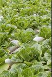 alface Foto de Stock