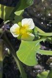 Alface aquática do sawah do amarelo da flor Fotografia de Stock Royalty Free