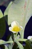 Alface aquática do sawah do amarelo da flor Fotos de Stock