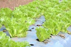 Alface coral verde fotos de stock royalty free