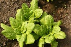 Alface crescente nas fileiras no jardim vegetal Imagens de Stock