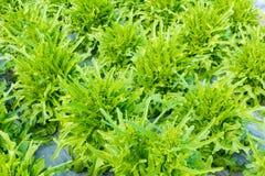 Alface da bacia de salada verde Imagens de Stock Royalty Free