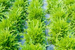 Alface da bacia de salada verde Fotos de Stock