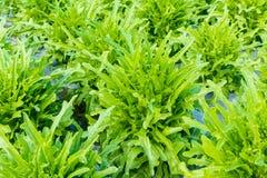 Alface da bacia de salada verde Imagens de Stock