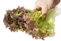 Alface da colheita Imagens de Stock Royalty Free