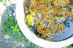 Alface de água, estação de tratamento de água stemless ou lentilha-d'água imagens de stock