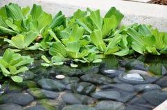 Alface de água (stratoides do Pistia) Imagem de Stock Royalty Free