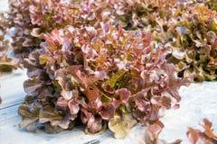 Alface de folha do carvalho vermelho Imagens de Stock Royalty Free