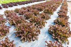 Alface de folha do carvalho vermelho Fotos de Stock