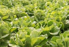 Alface de folha fresca do carvalho como o fundo Imagens de Stock Royalty Free