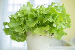 Alface de folha verde do carvalho fotos de stock