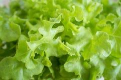 Alface de folha verde do carvalho foto de stock