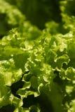Alface de jardim Foto de Stock