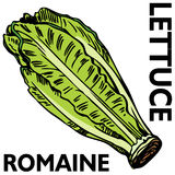 Alface de Romaine ilustração stock