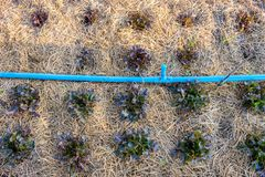 Alface do carvalho vermelho que cresce no jardim Imagens de Stock