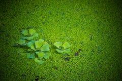 A alface e a lentilha-d'água do stratioteswater do Pistia molham a lente que cobre a lagoa imagens de stock royalty free
